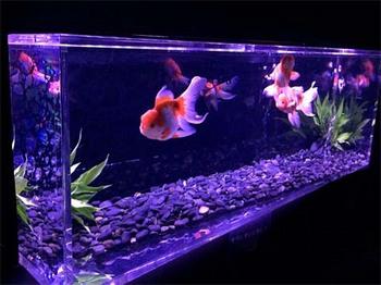 金魚4.jpg
