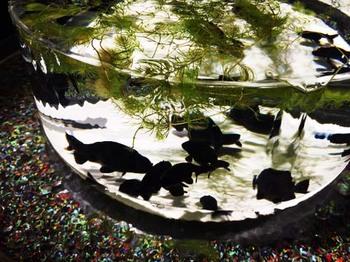 黒の金魚.jpg